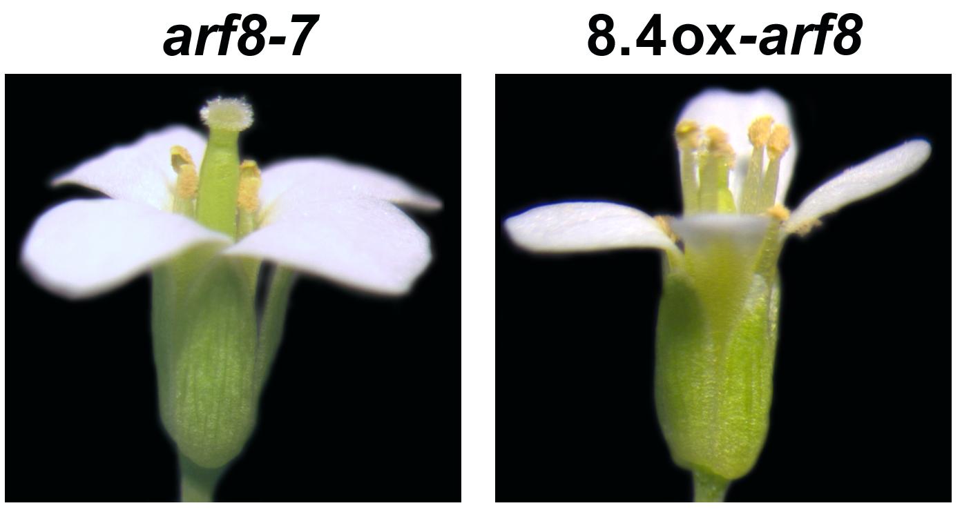Nuovo messaggero di un gene regola la fertilità maschile delle piante