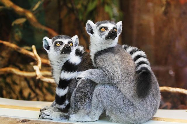 Ibernazione umana: scienziati studiano letargo Lemuri